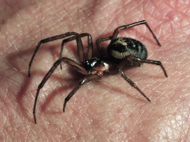 False widow spider species found in the south of England (38530462)